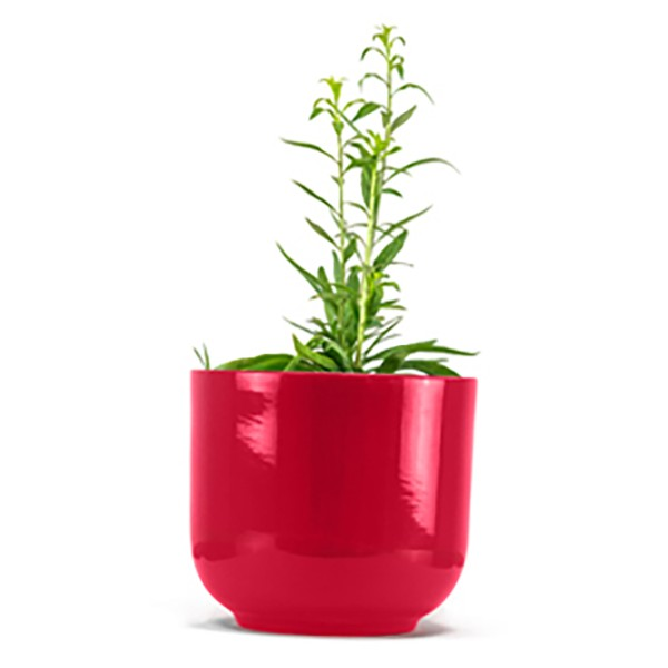 Goji Capo - 100% Organic Goji Plant - Goji Lycium Barbarum - Biological Plants