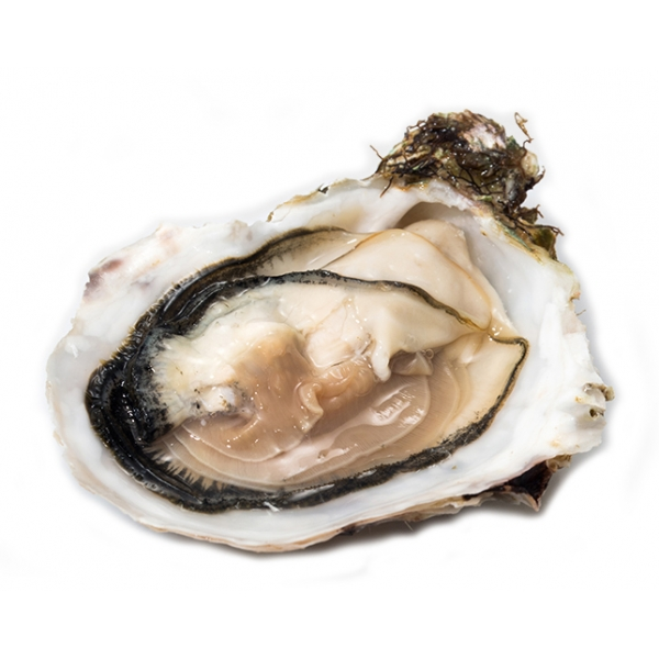 Wilde Wadoesters - Wild Oysters - 50 - Handpicked on the Wadden Sea - UNESCO World Heritage Site