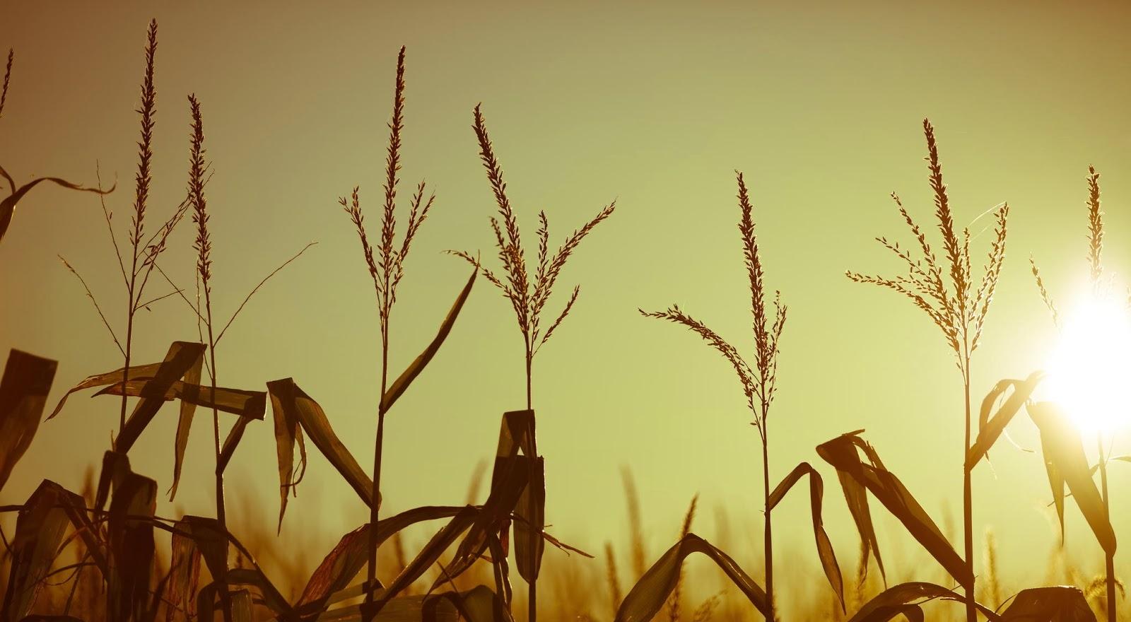 selezione del grano.jpg